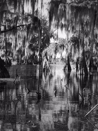 Breaux Bridge, LA: The cool looking trees in the swamp