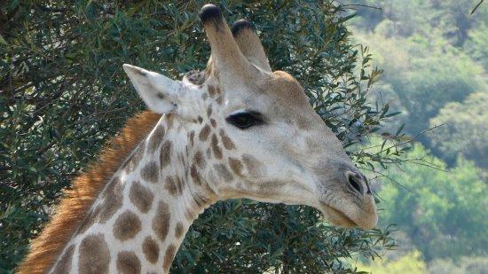 Pilanesberg Safaris and Tours: Gentle giraffe