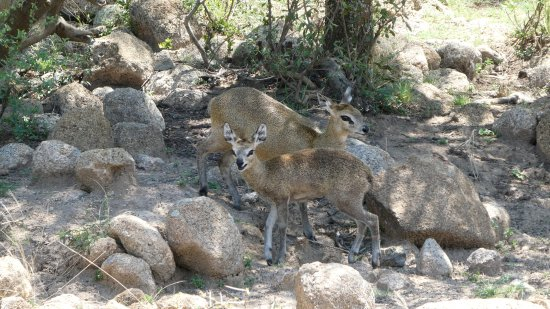 Pilanesberg Safaris and Tours: Cute Klipspringers may be as elusive as leopards