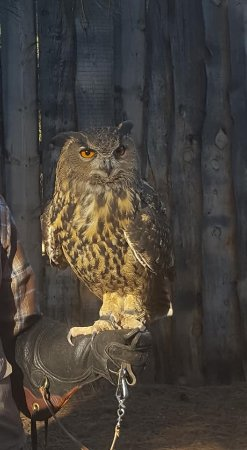 Williams, AZ: Owl at birds of prey show