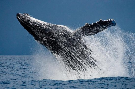 Humpback Whale Watching in Cabo San...