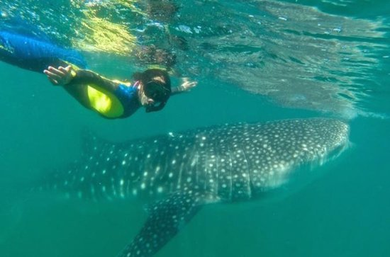 Swim Near a Whale Shark Habitat in La ...
