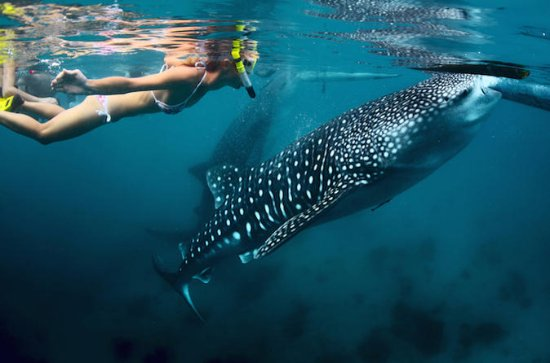 Whale-Shark Snorkeling Excursion to ...