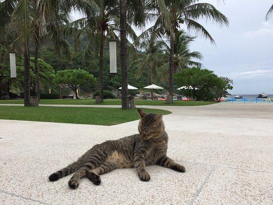 Ko Racha Yai, Tailandia: My fave resort cat, Tiger