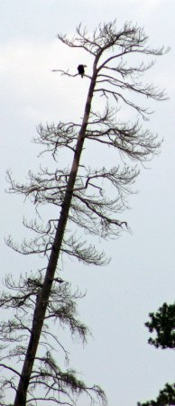 Seney, MI: Bald Eagle