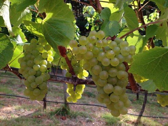 Leven Valley Vineyard
