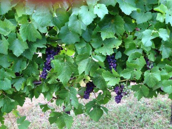Gunns Plains, Australien: The Pinot Noir gapes