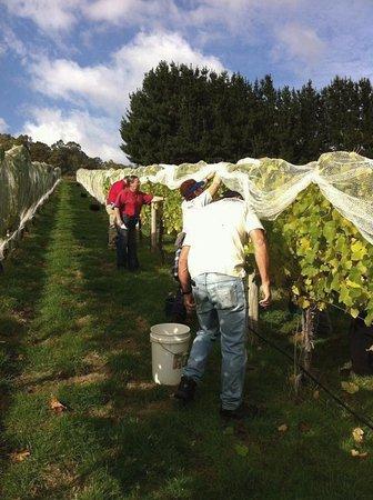 Gunns Plains, Αυστραλία: Pickers hard at work