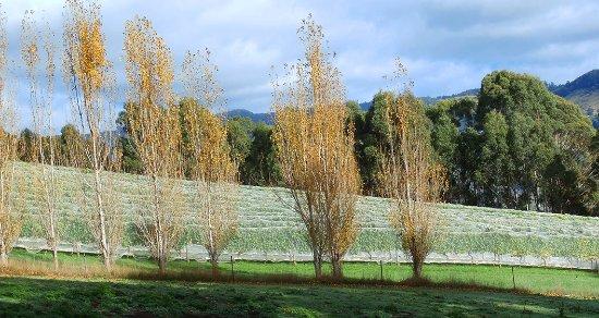 Gunns Plains, Australien: The side of the vines
