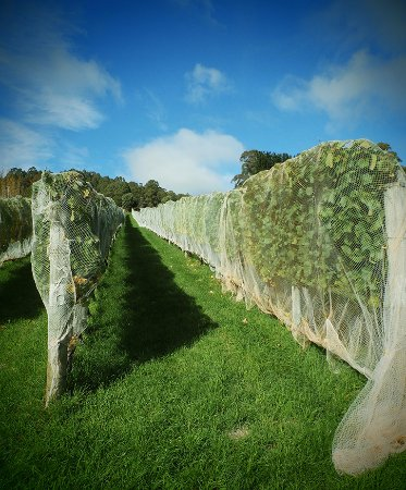 Gunns Plains, Australia: Tightly clipped and netted vines