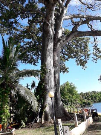 Hotel Villa Paraiso: Un enorme arbol en la playa