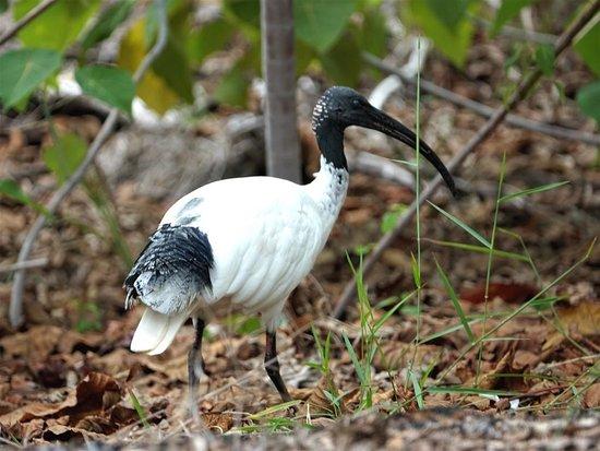 Main Beach, Avustralya: Australian white ibis