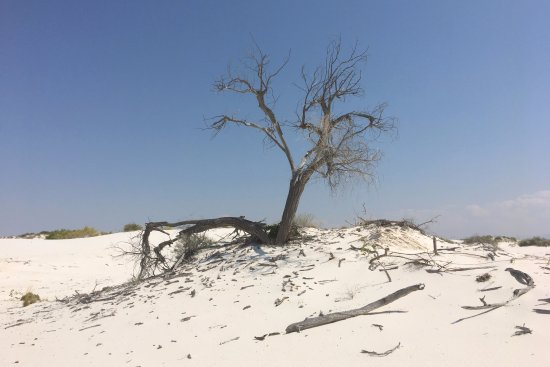 White Sands National Monument: A lonely tree on the Dunes Nature Trail