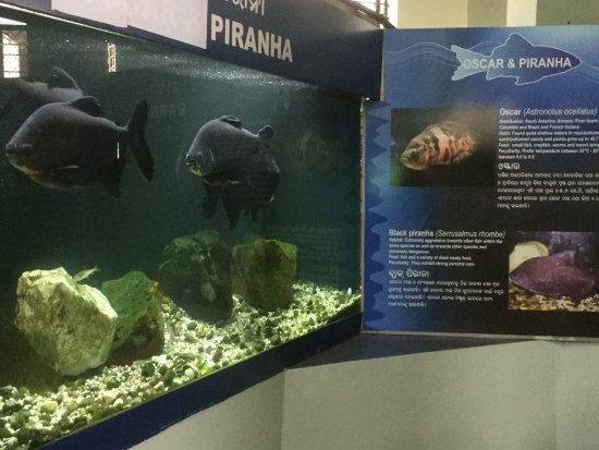 Nandankanan Zoological Park : Piraña fish