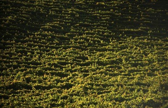 Paso Robles, Californie : A sea of vines . . .