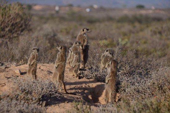 Meerkat Adventures: Erdmännchen