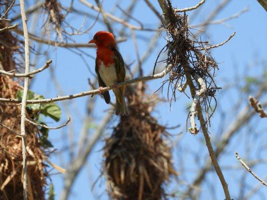 Nkorho Bush Lodge: centaines de tisserins à tête rouge nichant dans les arbres de la réception ...