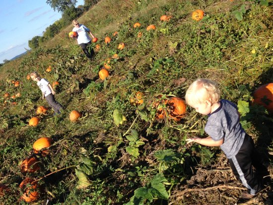 Greeneville, TN: A real pumpkin patch!