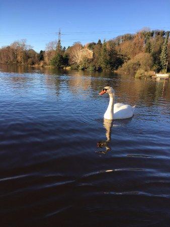 Garstang, UK: The lovely swan