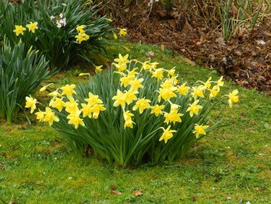 Daffodils, Fyvie Castle Grounds, Aberdeenshire