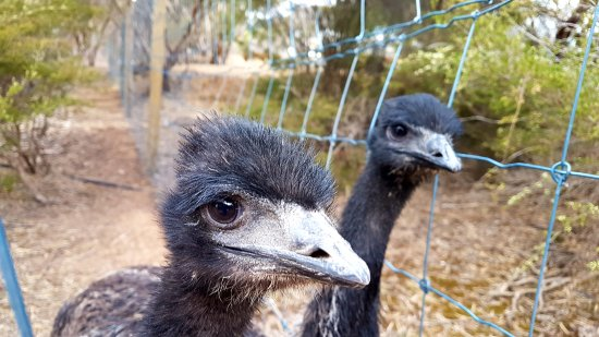 Kingscote, Australien: Couple of the 3 young Emus