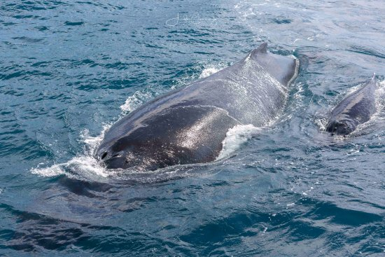 Forster, Australia: Mother and calf - this was one big mumma