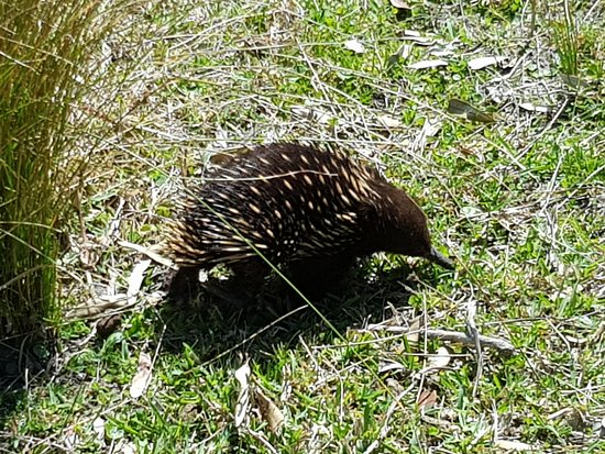 Kiama, Αυστραλία: An Echidna doing the daily search for worms