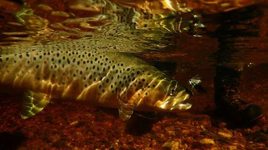A Great Day Fishing: Bi-catch,  Brown trout