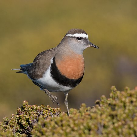 West Falkland, Falklandsøyene: Rufous-breasted Dotterel