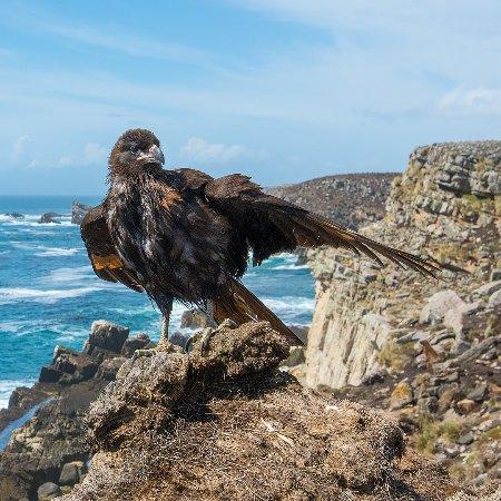 West Falkland, Falklandsøyene: Striated Caracara