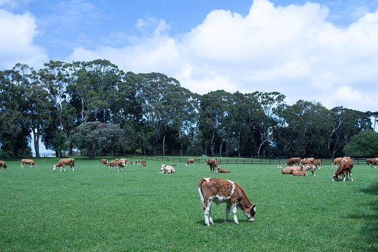 Cornwall Park: 好多牛