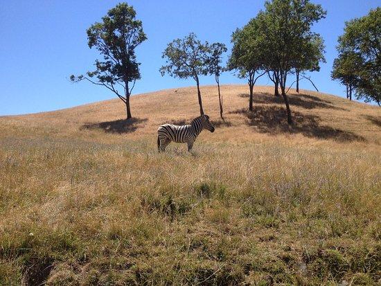 Winston, OR: zebra at wildlife safari