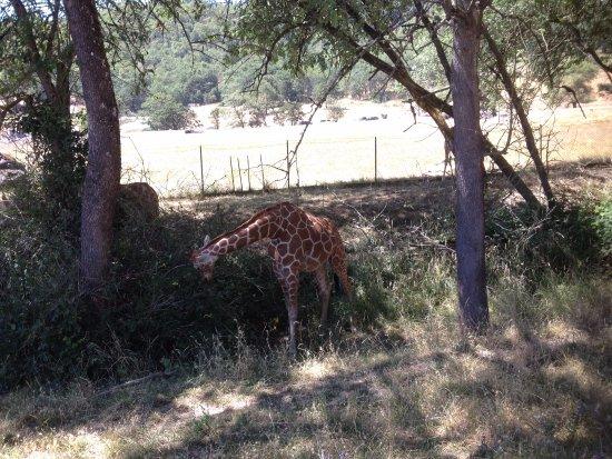 Winston, OR: young giraffe at wildlife safari