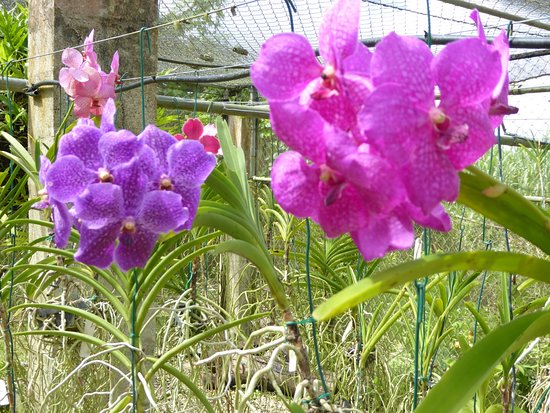 Saint George Parish, Barbados: More orchids