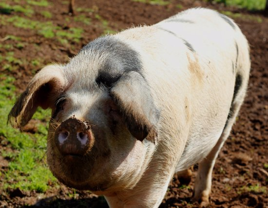 ‪‪Oakham‬, UK: Suzanne the Gloucester Old Spot Pig‬