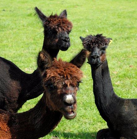 Oakham, UK: Some of our Alpacas