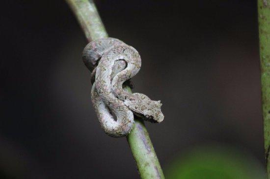 Ринкон-де-ла-Вьеха, Коста-Рика: snake