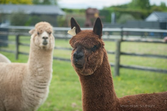 Havelock North, New Zealand: Tom, Dick & Harry are our 3 resident alpacas