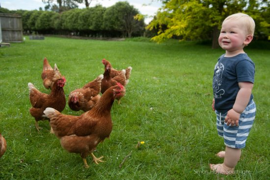 Havelock North, New Zealand: What's better than free range chickens (in their own paddock)
