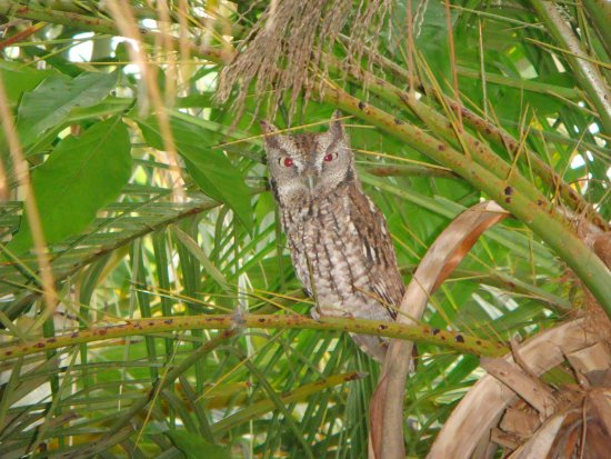 Seminole, FL: Screech Owl in the park.