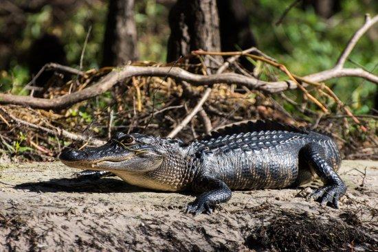 Palmdale, FL: Florida Alligator