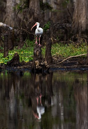 Palmdale, فلوريدا: Ibis reflection