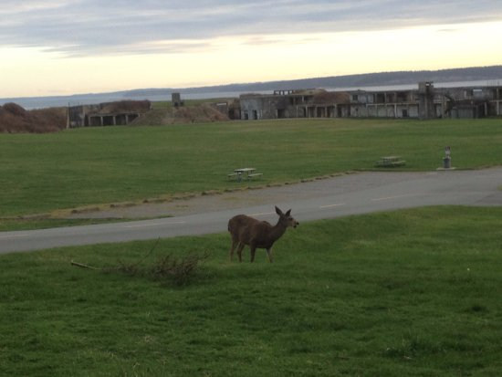 Coupeville, WA: You will often see deer grazing