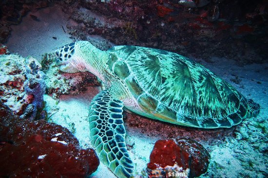 Semporna, Μαλαισία: I like turtles!