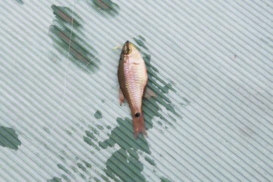 Sakurajima Visitor Center: ピンクな小魚