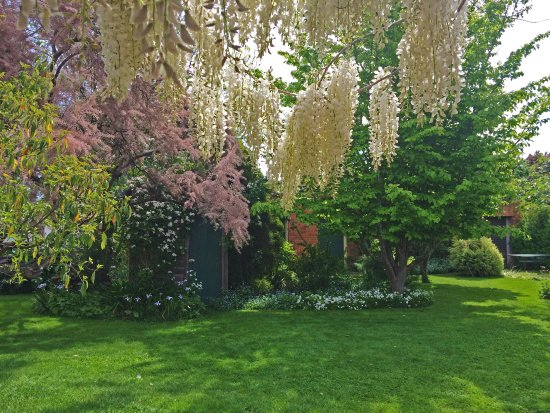 Longford, Australia: The Tamarisk and Wisteria flowering in early spring in the garden at The Racecourse Inn, Longfor