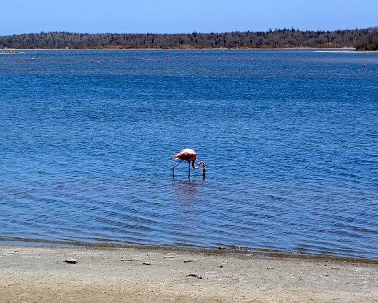 Kralendijk, Bonaire: Ein Flamingo im Wasser