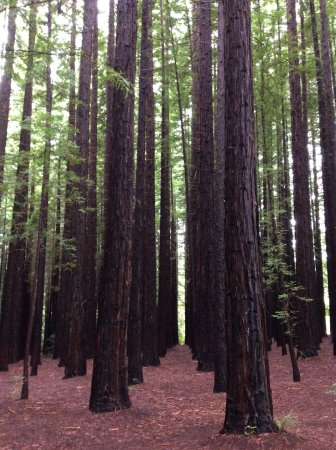 Warburton, Australia: Huge trees