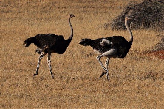 Sense of Africa - Day Tours: Ostriches on the Kalahari