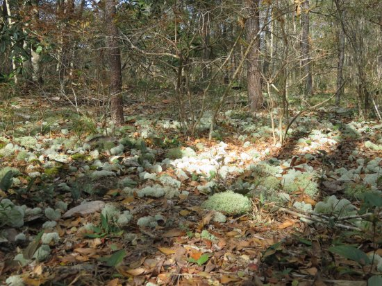 Niceville, FL: Beautiful lichen on ground during hike. It looked like a fairyland.